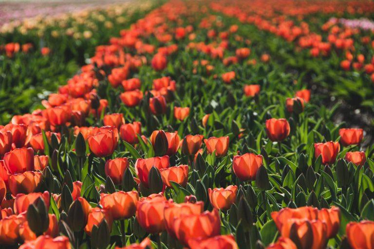 Tulipe Field